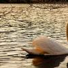 """Spring Swan"", photography by Anita Winstanley Roark.  Contact us for edition and size availability."